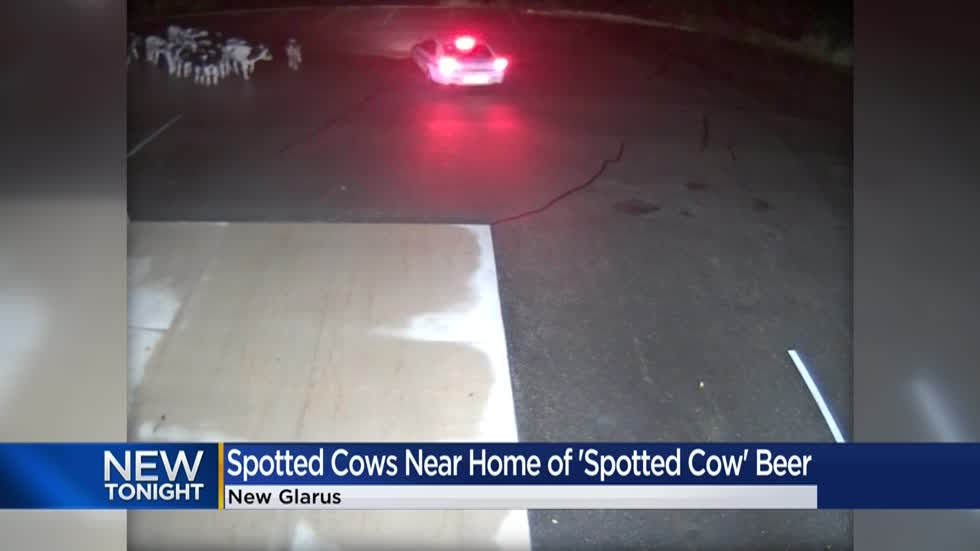 Herd of cows wanders into New Glarus Brewing Company parking lot, home of 'Spotted Cow' beer